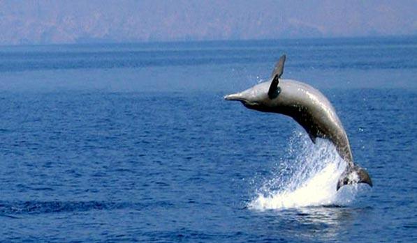 Preparati a guardare i delfini naturali lungo la crociera in dhow. L'osservazione dei delfini è l'attività più eccitante durante l'intera giornata della crociera di Dhow Khasab Musandam.