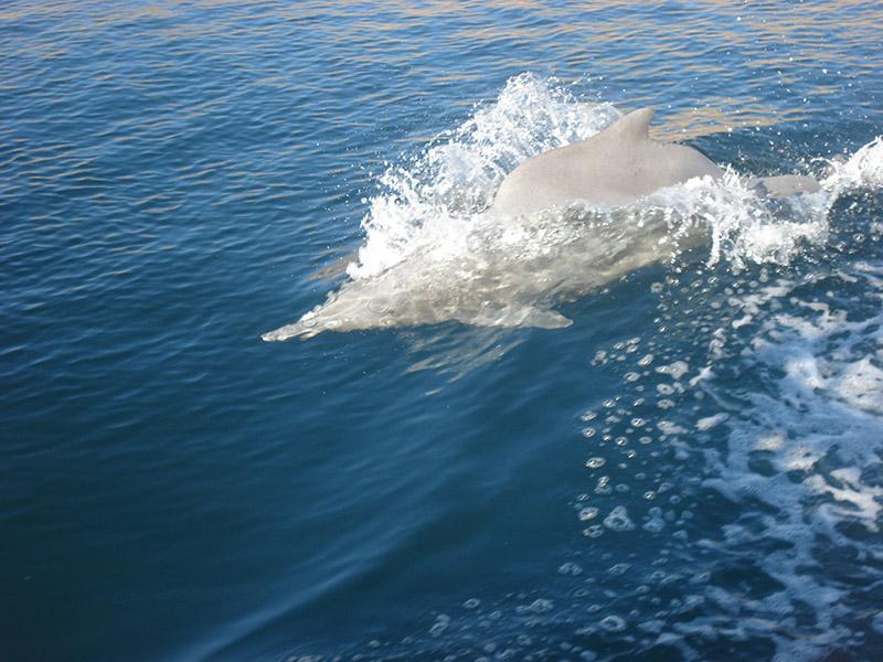 Preparati a guardare i delfini nel loro habitat naturale durante la crociera in dhow. L'osservazione dei delfini è l'attività più eccitante durante l'intera giornata della crociera in dhow Khasab Musandam.