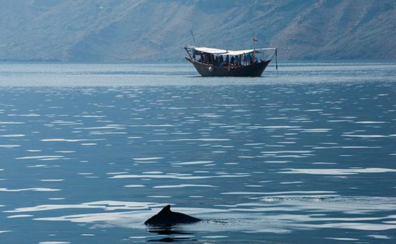 Preparati a guardare i delfini nel loro habitat naturale durante la Crociera in dhow. Osservare i delfini è l'attività più eccitante durante la crociera di Khasab Musandam dhow.